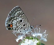 maimi blue butterfly